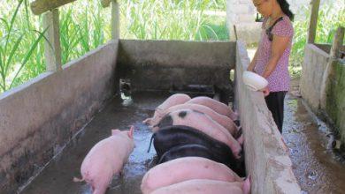 Photo of Chưa ngăn được ô nhiễm trong chăn nuôi