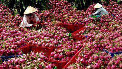 Photo of Trái cây Việt vào thị trường Trung Quốc