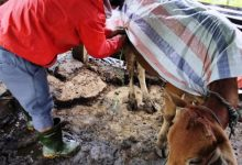 """Photo of Triển khai các giải pháp """"cứu"""" trâu bò ở A Lưới"""