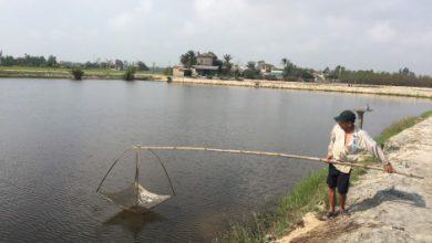 Photo of Bệnh đốm trắng gây hại trên tôm nuôi ở Quảng Điền