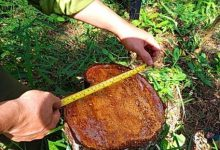 Photo of Đã xác định thủ phạm chặt hạ 55 gốc thông ở rừng phòng hộ